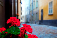 Stockholm, Sweden. Roses in the old town