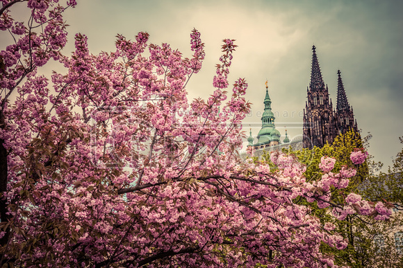Prague Castle with St. Vitus Cathedral, Hradcany, Czech Republic as seen from spring gardens.