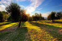 Olive trees in Tuscany, Italy at sunset